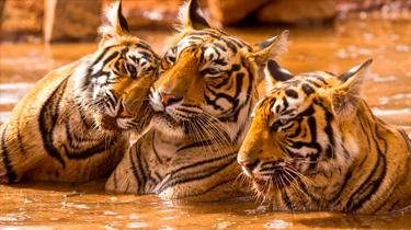 Especial Taj y Tigre