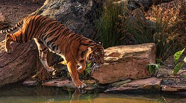 Taj y Tigre